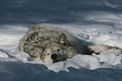 Canis Lupus Prints - A Gray Wolf, Canis Lupus, Takes A Nap Print by Jim And Jamie Dutcher