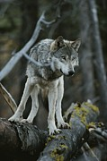 Canis Lupus Prints - A Gray Wolf, Canis Lupus, Walks Print by Jim And Jamie Dutcher