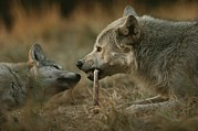 Canis Lupus Prints - A Gray Wolf Pup, Canis Lupus, Begs An Print by Jim And Jamie Dutcher