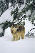 Snow Scenes Prints - A gray wolf stands under Print by Norbert Rosing