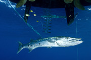 Osteichthyes Photos - A Great Barracuda Beneath A Boat, Kimbe by Steve Jones