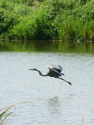 Birds Prints - A Great Blue Heron Landing Print by Neal  Eslinger