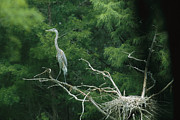 Nests Framed Prints - A great blue heron Framed Print by Taylor S. Kennedy