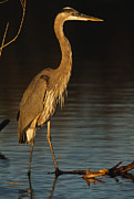 Ardea Herodias Framed Prints - A Great Blue Heron Wades In A Coastal Framed Print by Klaus Nigge
