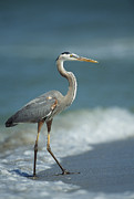 Ardea Herodias Posters - A Great Blue Heron Walks In The Sand Poster by Klaus Nigge