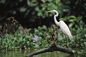 Aquatic Plants Prints - A Great Egret, Casmerodius Albus Print by Tim Laman