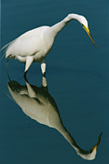J N Ding Darling National Wildlife Refuge Framed Prints - A Great Egret Hunting In Calm Water Framed Print by Tim Laman