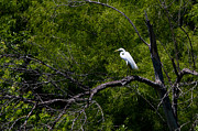 Wildlife Posters - A Great Egret in a green forest Poster by Ellie Teramoto