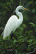 Roosting And Resting Posters - A Great Egret Perches On A Tree Branch Poster by Klaus Nigge