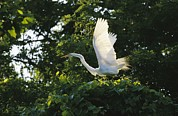 Stretching Wings Posters - A Great Egret Spreads Its Wings Poster by Raymond Gehman