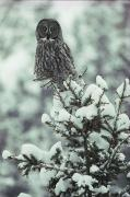 Snow Scenes Photo Prints - A Great Gray Owl Strix Nebulosa Perches Print by Tom Murphy