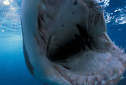 Shark Teeth Art - A Great White Shark Opens His Mouth by David Doubilet