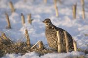 Prairie Chicken Posters - A Greater Prairie Chicken In The Snow Poster by Joel Sartore