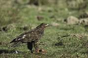 Animal Behavior Art - A Greater Spotted Eagle Standing by Klaus Nigge