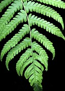 Dipped Prints - A Green Fern Print by Sabrina L Ryan