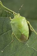 Stink Bug Posters - A Green Shield Bug Feeds On Plant Sap Poster by George Grall
