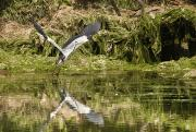 Grey Heron Photos - A Grey Heron Landing On Water by John Short