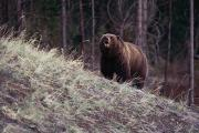 A Grizzly Bear Approaching The Crest Print by Bobby Model