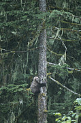 Fir Trees Prints - A Grizzly Bear Clings To A Fir Tree Print by Tom Murphy