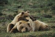 Juvenile Mammals Posters - A Grizzly Bear Cub Stretches Poster by Michael S. Quinton