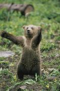 Animal Behavior Photos - A Grizzly Bear Cub Ursus Arctos by Tom Murphy