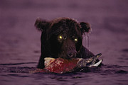 Joel Sartore - A Grizzly Bear Meets...