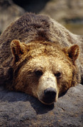 Exhausted Posters - A Grizzly Bear Rests His Huge Head Poster by Jason Edwards