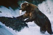 Brooks Photos - A Grizzly Bear With A Freshly Caught by Joel Sartore