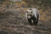 Animal Portraits Prints - A Grizzly Walks Toward The Camera Print by Michael S. Quinton
