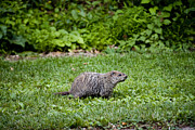 Groundhog Framed Prints - A Groundhog Marmota Monax Enjoys A Meal Framed Print by Stephen St. John