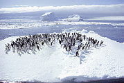 Ice Floes Art - A Group Of Adelie Penguins, Pygoscelis by Bill Curtsinger