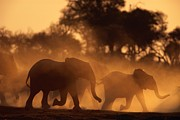 Running Elephants Posters - A Group Of African Elephants, Loxodonta Poster by Beverly Joubert