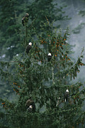 Roosting And Resting Posters - A Group Of American Bald Eagles Perch Poster by Klaus Nigge