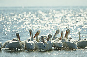 White Pelicans Framed Prints - A Group Of American White Pelicans Framed Print by Klaus Nigge