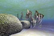Angelfish Posters - A Group Of Angelfish Swim Near A Rock Poster by Corey Ford