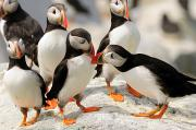 Puffins Posters - A Group Of Atlantic Puffins On A Rock Poster by Darlyne A. Murawski