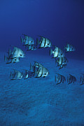 Turks And Caicos Islands Photos - A Group Of Atlantic Spadefish by Heather Perry