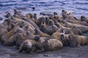 Strength In Numbers Posters - A Group Of Atlantic Walruses Odobenus Poster by Paul Nicklen