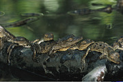 Reptiles Framed Prints - A group of baby American Framed Print by Steve Winter
