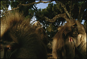 Monkeys Prints - A Group Of Bachelor Male Geladas Print by Michael Nichols