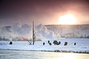 Bison Photos - A Group Of Bison Feeding In The Snow by Drew Rush