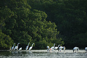 Egretta Thula Photos - A Group Of Egrets And Herons Wade by Klaus Nigge