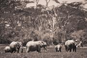 Tusk Prints - A Group Of Elephants Kenya Print by David DuChemin