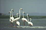 Greater Flamingos Posters - A Group Of Greater Flamingos Poster by Klaus Nigge