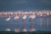 Greater Flamingos Framed Prints - A Group Of Greater Flamingos Wade Framed Print by Roy Toft