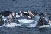 Ocean Mammals Metal Prints - A Group Of Humpback Whales Bubble Net Metal Print by Ralph Lee Hopkins