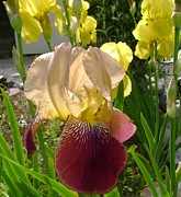 Yellow Bearded Iris Photos - A Group Of Irises  by Susan Johansen
