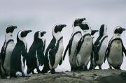Wildlife Disasters Photos - A Group Of Jackass Penguins Spheniscus by Chris Johns