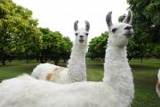 Llamas Prints - A Group Of Llamas On A Wooded Field Print by Raul Touzon