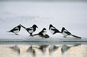 Magpies Tapestries Textiles - A Group Of Magpies Gathered by Klaus Nigge